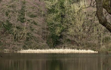 Reeds in Brim Pool