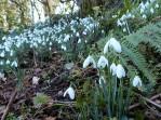 More feral snowdrops