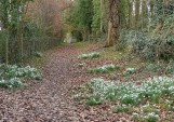 Snowdrops beside the path