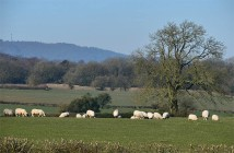 Sheep and Wrekin I