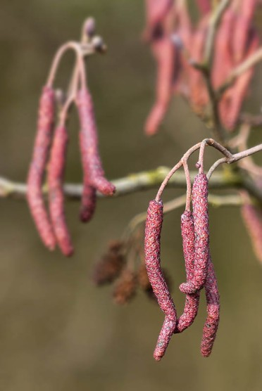 """""""These catkins are red!"""""""