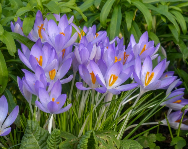 Colourful crocuses