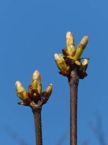 Sticky buds