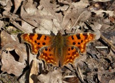 Comma basking