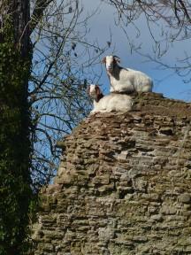 Goat gate guardians