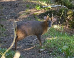 Muntjac in the woods