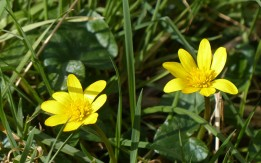 Celandines - more signs of spring
