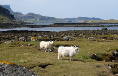 Staffin sheep