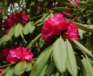 ... and rhododendron