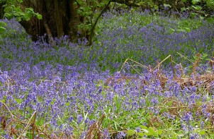 ...and bluebells