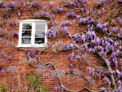 Wisteria and window