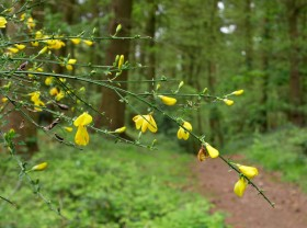 Broom in Chestnut Coppice...