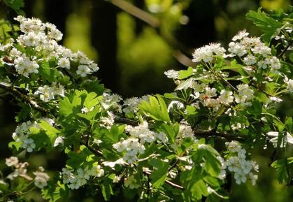 Speller hawthorn