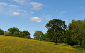 Buttercup meadows