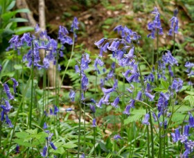 ... and bluebells