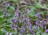 Late early purple...