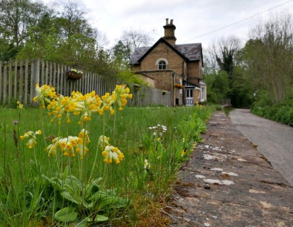 Cowslips on the station platform