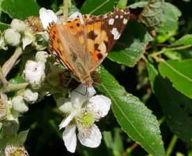 Painted lady in the woods