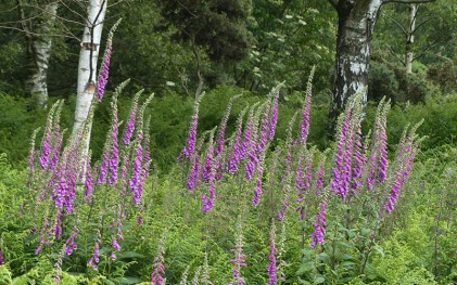A fine stand of foxgloves
