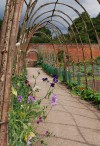 Sweet peas in the walled garden