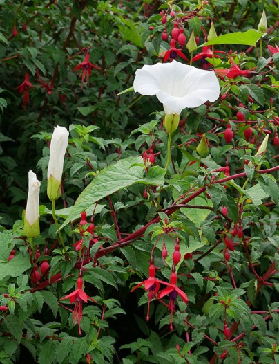 Bindweed and fuchsia