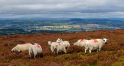 Sheep on the moor