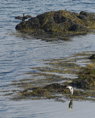 Cormorant and heron