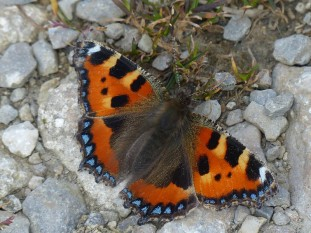 Tortoiseshell on the track