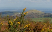 Gorse and Earl's Hill