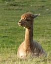 Nipstone alpaca