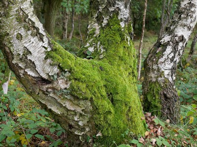 Mossy trunks