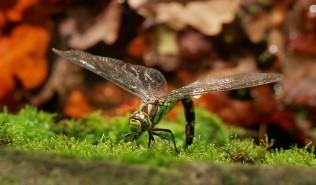 Bodenham dragonfly