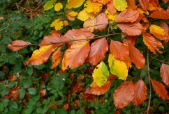 Colourful beech