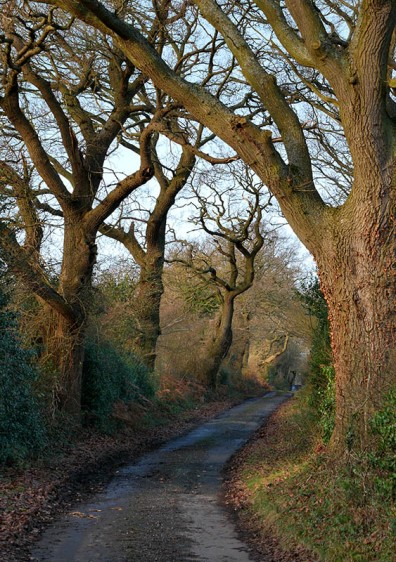 Trees on Lodge Lane