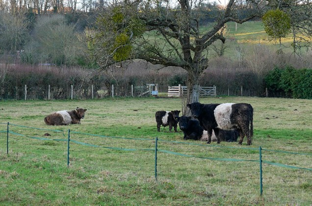 ... and stripy cows (Belties in Shropshire? Whatever next?)