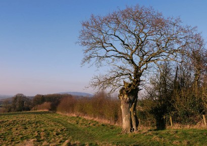 Ancient tree and Wrekin