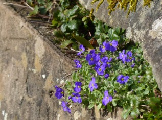 Aubretia in the ha-ha