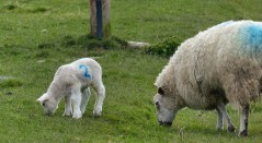 ...where there are lambs...