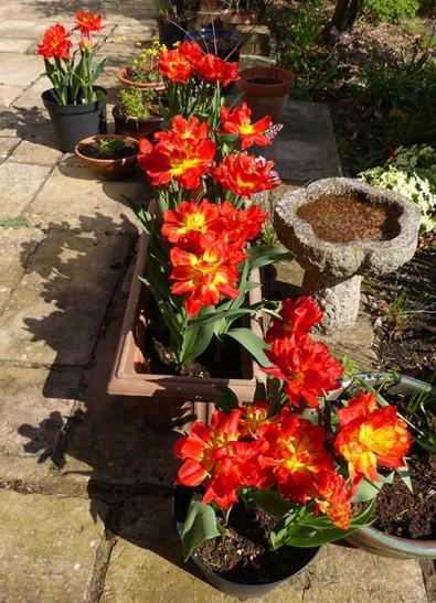 Back garden tulips