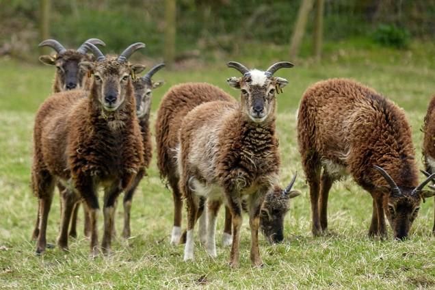 2015: Soay sheep