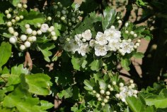 20 April 2020: First hawthorn blossom