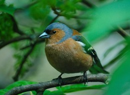 At the hide: chaffinch 1