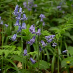 Pale bluebells