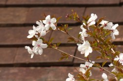 Blossom at Wyke