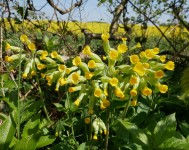 Cowslips beside the lane
