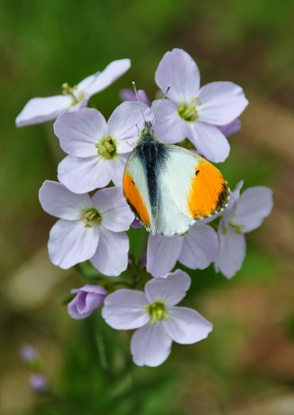Lady's smock and orange tip