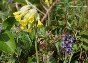Cowslip and bugle
