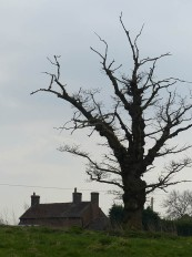 Dead tree at Arlescott