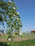 May blossom at the Inett