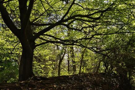 Wenlock Edge: new beech leaves